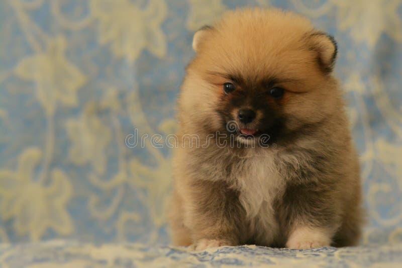 Ευτυχές λίγο κουτάβι Pomeranian κάθεται στον μπλε καναπέ στοκ εικόνα