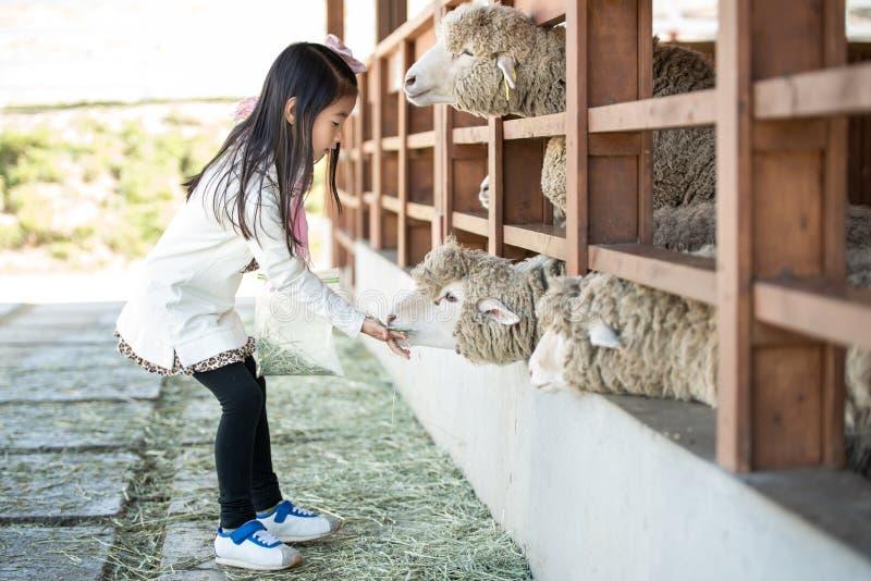 Ευτυχές αγρόκτημα προβάτων σίτισης κοριτσιών στη Νότια Κορέα στοκ εικόνες
