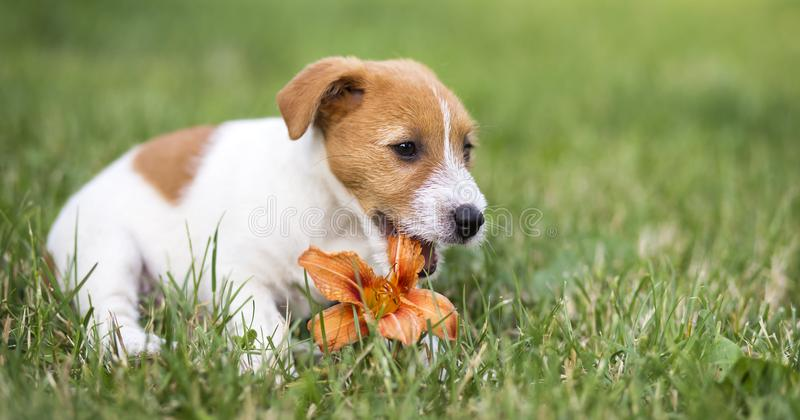 Ευτυχές κουτάβι κατοικίδιων ζώων σκυλιών που μασά ένα λουλούδι - ιδέα εμβλημάτων Ιστού στοκ φωτογραφία