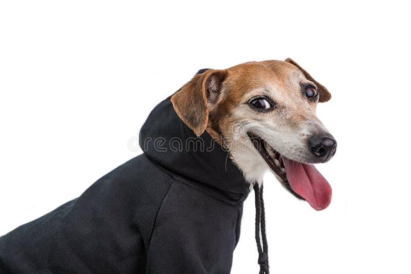 Ευτυχές σκυλί στο γκρίζο hoodie Πλάγια όψη χαμόγελο προσώπου Άσπρη ανασκόπηση στοκ εικόνες