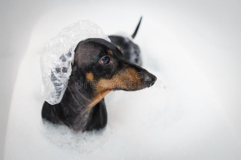 Ευτυχές σκυλί dachshund, ο Μαύρος και μαύρισμα, έτοιμοι να πάρουν ένα λουτρό με το σαπούνι στη σκάφη στο ντους ΚΑΠ στοκ εικόνα