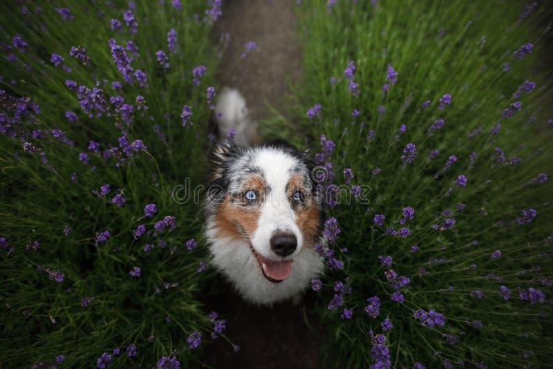 Ευτυχές σκυλί lavender στα λουλούδια αυστραλιανός ποιμένας Pet στο καλοκαίρι φύσης στοκ εικόνα