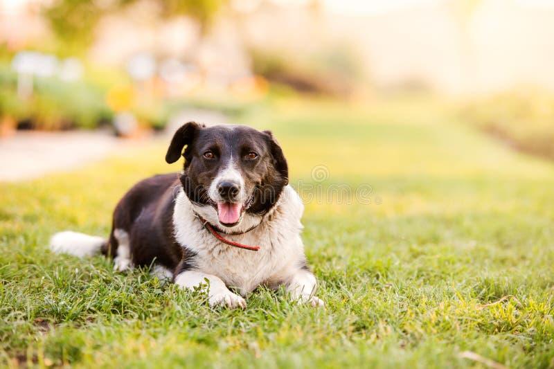 Ευτυχές σκυλί που βρίσκεται στην πράσινη χλόη με την επέκταση των ποδιών στοκ εικόνες