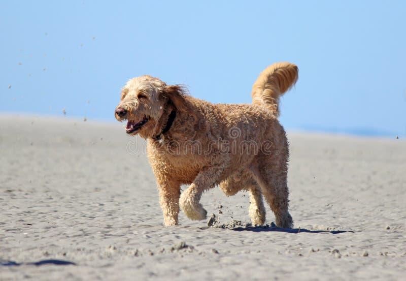 Ευτυχές σκυλί που τρέχει στην παραλία στοκ εικόνες