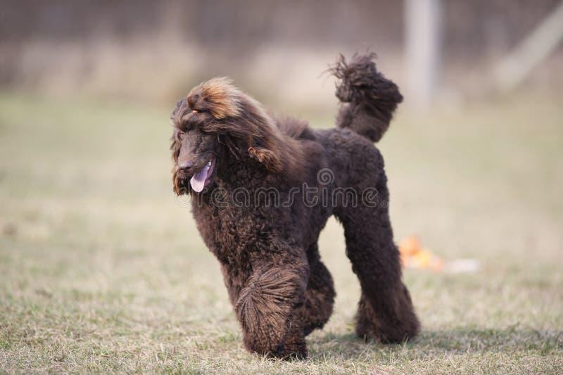 Ευτυχές τρέξιμο σκυλιών Καθαρής φυλής καφετί poodle στοκ εικόνα με δικαίωμα ελεύθερης χρήσης