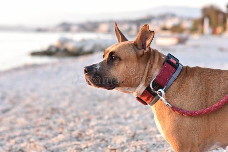 Ευτυχές υγιές σκυλί τεριέ πίτμπουλ στην παραλία στοκ φωτογραφία