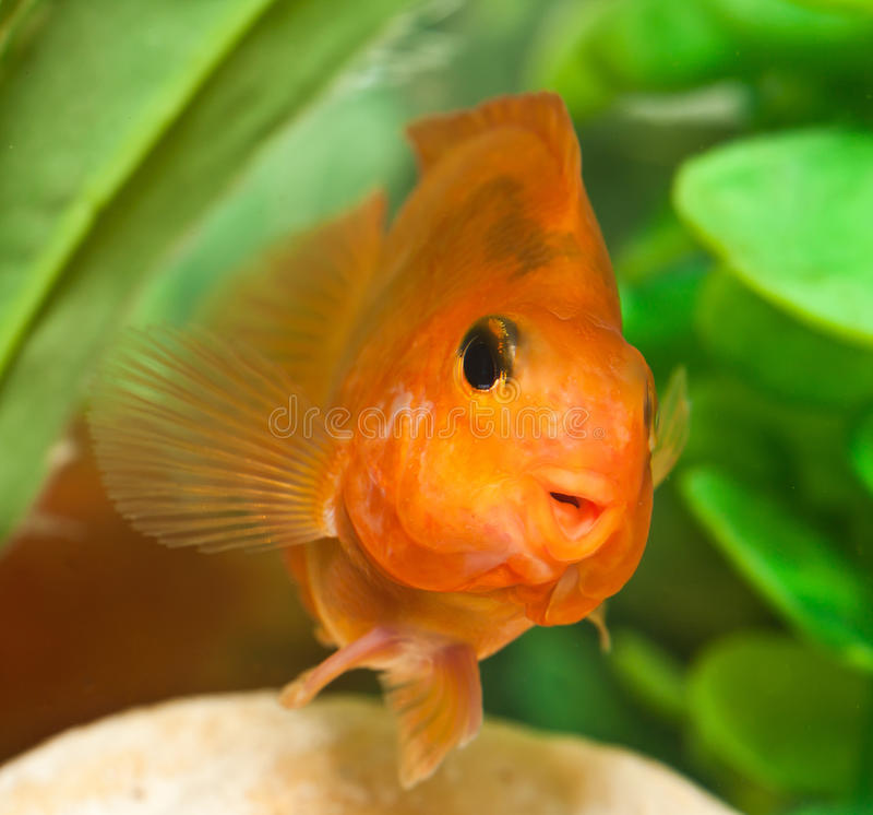 Ευτυχές χαμόγελο του παπαγάλου ψαριών ενυδρείων στοκ εικόνες