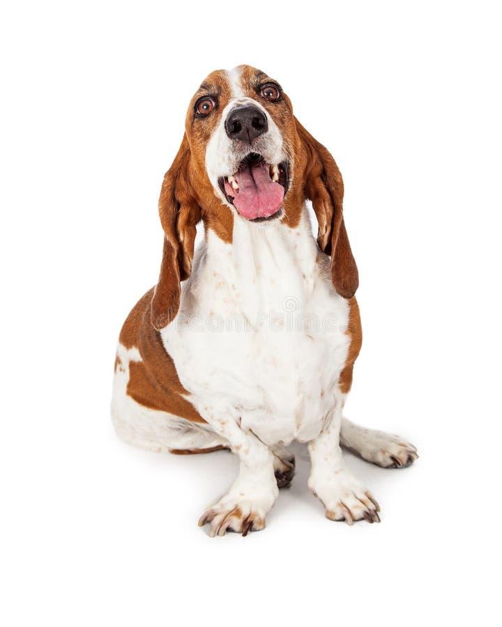 Ευτυχές χαμόγελο σκυλιών κυνηγόσκυλων μπασέ στοκ εικόνες