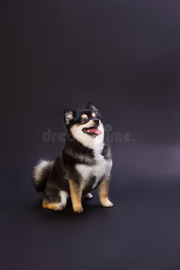 Ευτυχές χνουδωτό σκυλί, σκοτεινό υπόβαθρο στοκ φωτογραφία με δικαίωμα ελεύθερης χρήσης