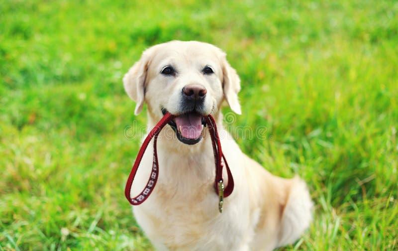 Ευτυχές χρυσό Retriever σκυλί με τη συνεδρίαση λουριών στη χλόη στοκ φωτογραφίες