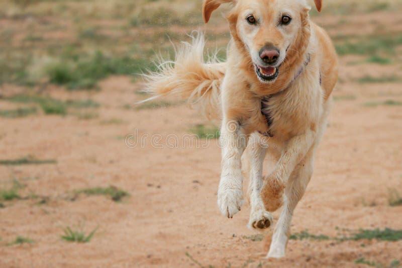 Ευτυχές χρυσό Retriever σκυλί που τρέχει και που τινάζει επάνω την άμμο στοκ φωτογραφία