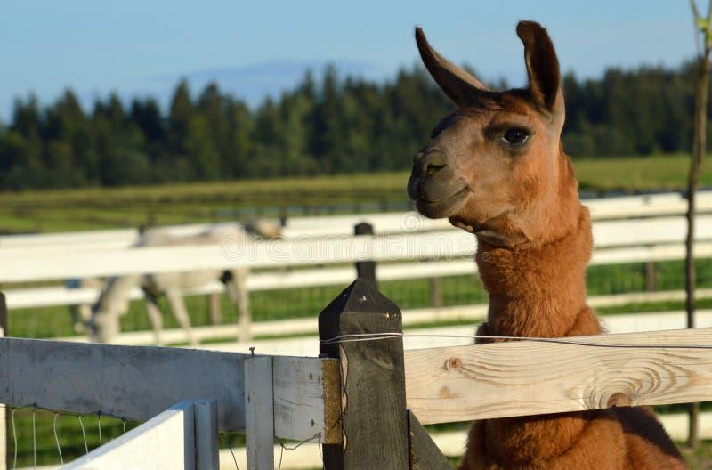 ευτυχές llama στοκ εικόνα με δικαίωμα ελεύθερης χρήσης