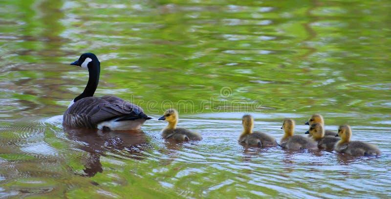 ευτυχής κολύμβηση οικο στοκ φωτογραφία με δικαίωμα ελεύθερης χρήσης