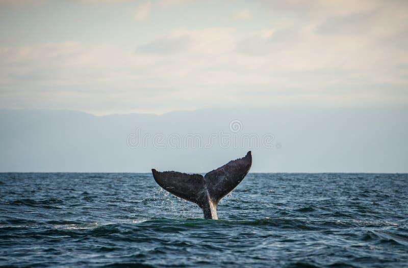 Ευτυχής ουρά φαλαινών στοκ εικόνα με δικαίωμα ελεύθερης χρήσης
