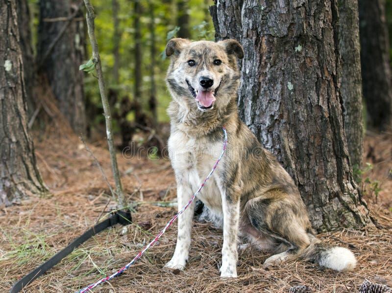Ευτυχής συνεδρίαση σκυλιών φυλής μιγμάτων Aussie κάτω στοκ εικόνες με δικαίωμα ελεύθερης χρήσης