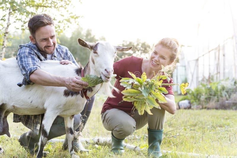 Ευτυχής ταΐζοντας αίγα ζευγών στη χλόη στο αγρόκτημα στοκ εικόνες