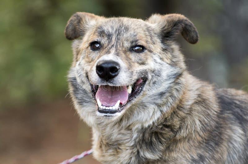 Ευτυχής φωτογραφία υιοθέτησης σκυλιών φυλής μιγμάτων Aussie στοκ εικόνα