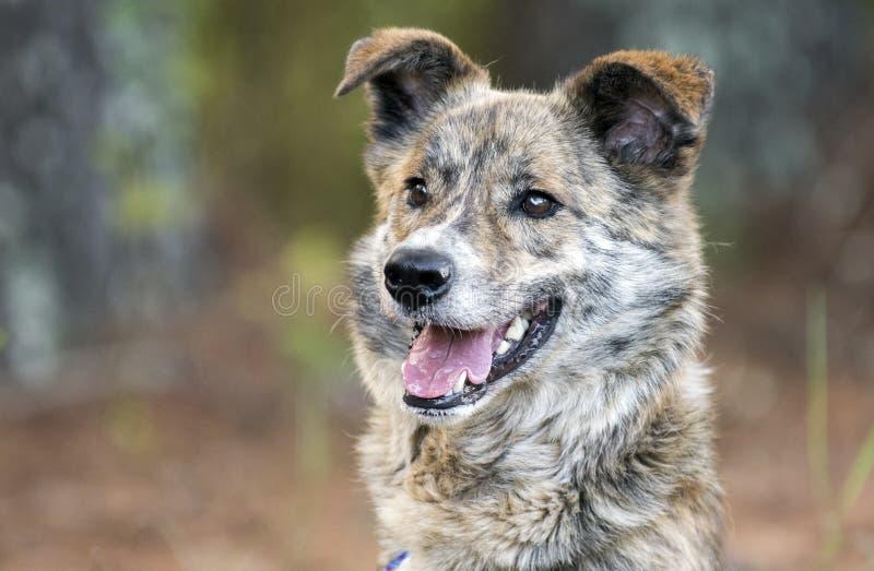 Ευτυχής φωτογραφία υιοθέτησης σκυλιών φυλής μιγμάτων Aussie στοκ εικόνες