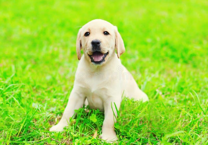 Ευτυχής χαριτωμένη Retriever του Λαμπραντόρ κουταβιών σκυλιών συνεδρίαση στην πράσινη χλόη στοκ εικόνα με δικαίωμα ελεύθερης χρήσης