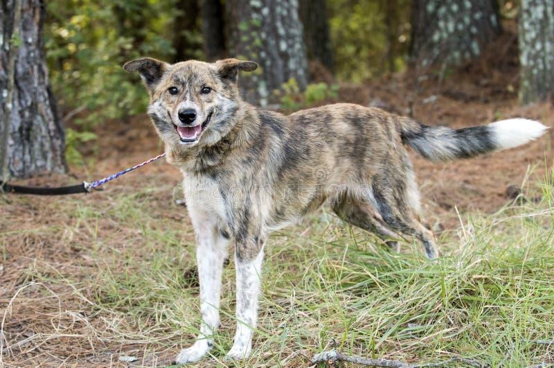 Ευτυχής wagging ουρά σκυλιών φυλής μιγμάτων Aussie στοκ φωτογραφία
