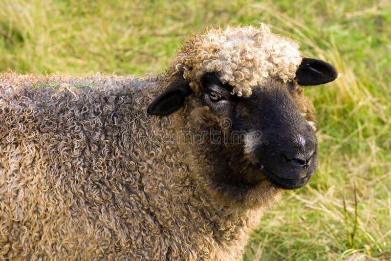 Download ευτυχή πρόβατα στοκ εικόνα. εικόνα από λιβάδι, ειρηνικός - 17057631