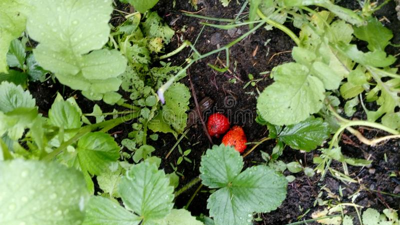 Ευτυχή φρούτα κήπων η φράουλα εύνοιάς μου στοκ εικόνες