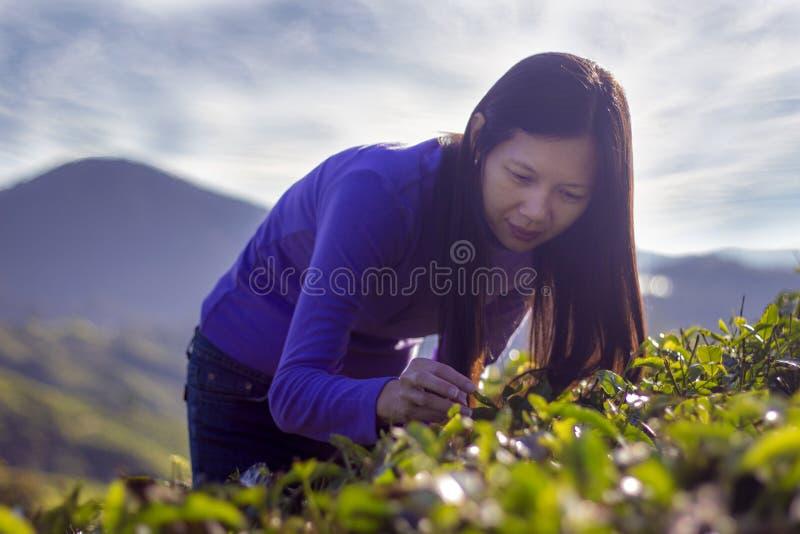 Ευτυχή φύλλα τσαγιού επιλογής στοκ εικόνες