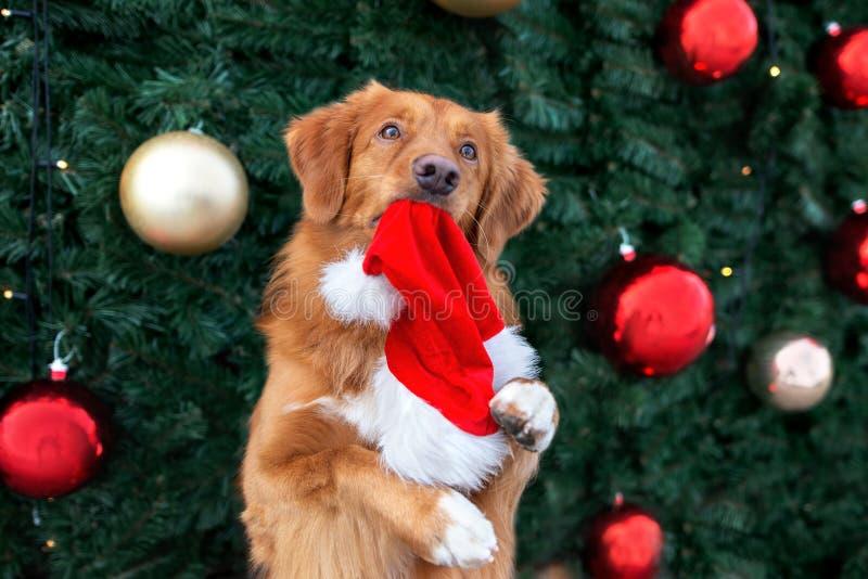 ευτυχισμένο τολμηρό σκυλί που κρατά χριστουγεννιάτικο καπέλο στο στόμα στοκ εικόνες με δικαίωμα ελεύθερης χρήσης