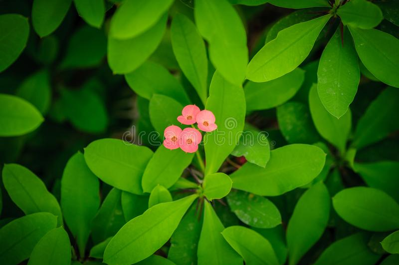 Ευφορβία γνωστή επίσης ως κορώνα των αγκαθιών, των εγκαταστάσεων Χριστού ή του αγκαθιού Χριστού Ανθίζοντας φυτό στοκ εικόνες με δικαίωμα ελεύθερης χρήσης