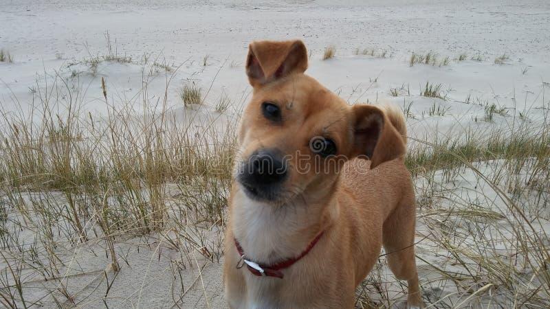 Ευφυές σκυλί που κοιτάζει σε σας στοκ εικόνες με δικαίωμα ελεύθερης χρήσης