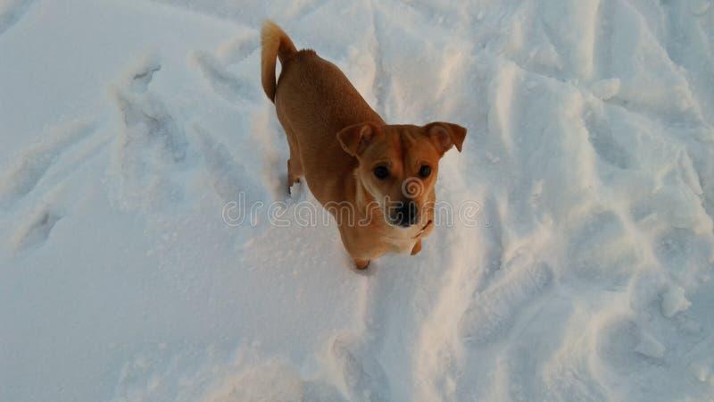Ευφυές σκυλί που κοιτάζει σε σας στοκ εικόνες