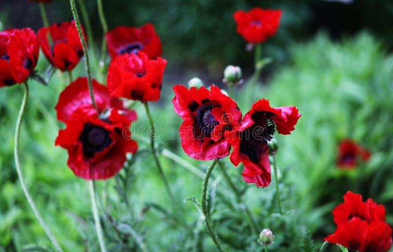 Ευχάριστα λουλούδια της παπαρούνας στοκ φωτογραφία