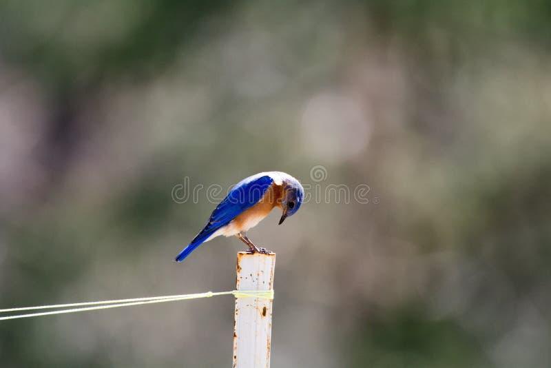 Ευχάριστο bluebird στοκ φωτογραφίες με δικαίωμα ελεύθερης χρήσης