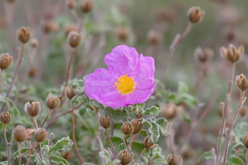 ευώδες rockrose λουλουδιών στοκ εικόνα με δικαίωμα ελεύθερης χρήσης