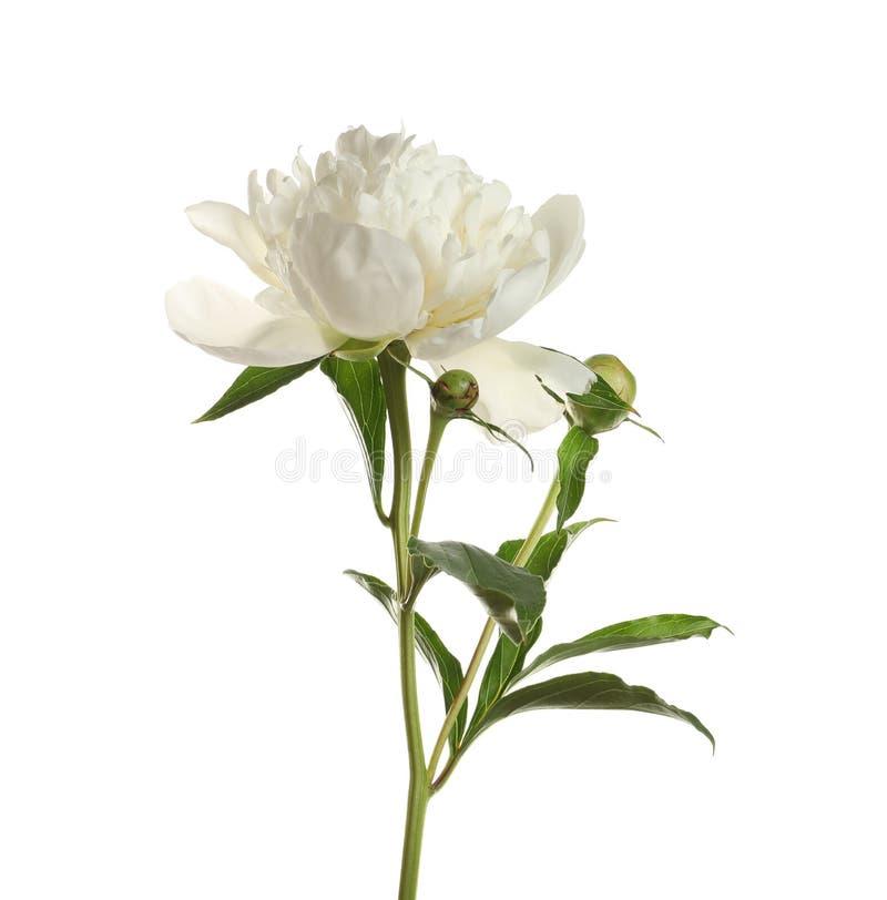 Ευώδης peony στο άσπρο υπόβαθρο Όμορφο λουλούδι στοκ εικόνα με δικαίωμα ελεύθερης χρήσης