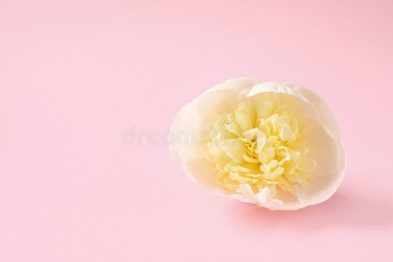 Ευώδης peony στο υπόβαθρο χρώματος Όμορφο λουλούδι άνοιξη στοκ εικόνα