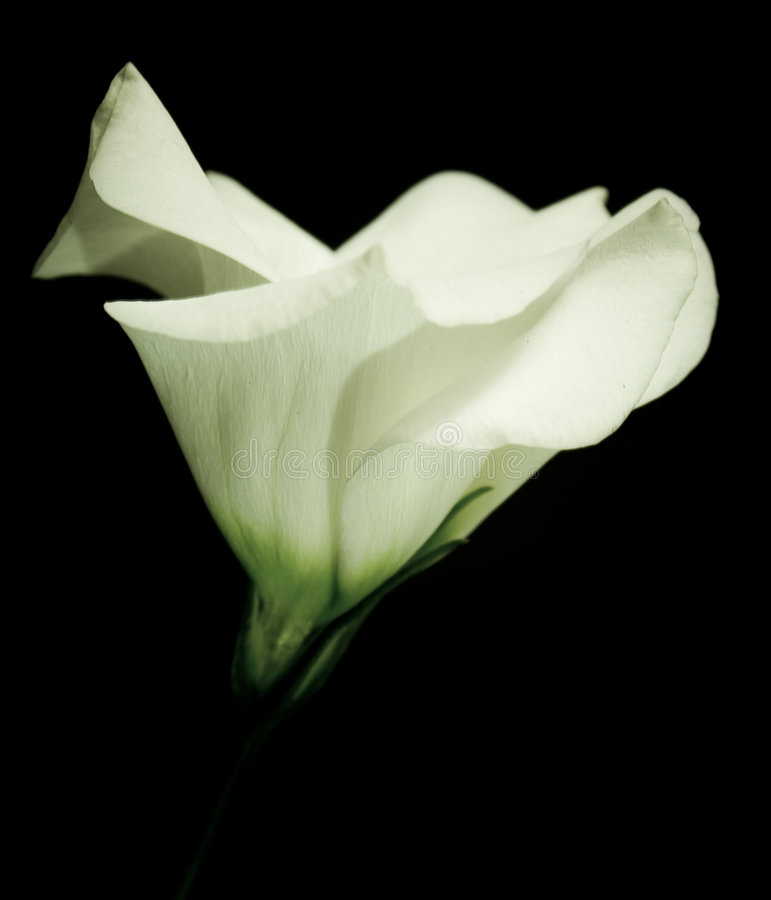 εύγευστο lisianthus στοκ εικόνα