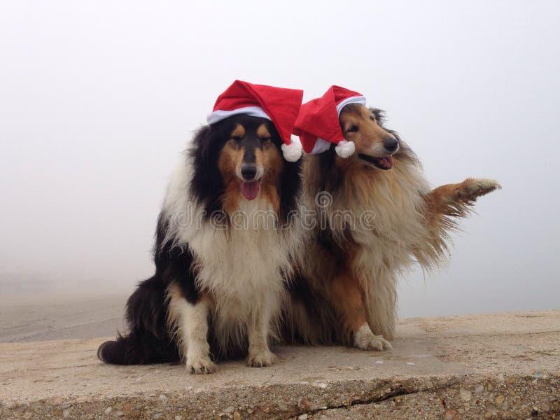 Εύθυμα σκυλιά κόλλεϊ στοκ εικόνα με δικαίωμα ελεύθερης χρήσης