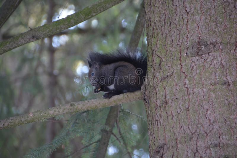 εύθυμος σκίουρος στοκ εικόνα με δικαίωμα ελεύθερης χρήσης