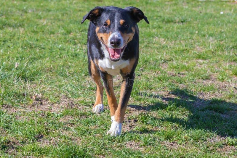 Εύθυμο γενειοφόρο Appenzeller Mountaindog που τρέχει στην πράσινη χλόη στοκ εικόνες με δικαίωμα ελεύθερης χρήσης