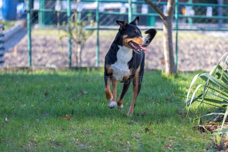 Εύθυμο γενειοφόρο Appenzeller Mountaindog που τρέχει στην πράσινη χλόη στοκ φωτογραφίες