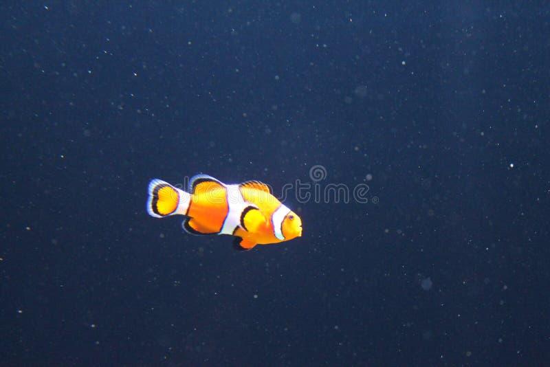 Εύρεση του nemo στον ωκεανό στοκ εικόνα