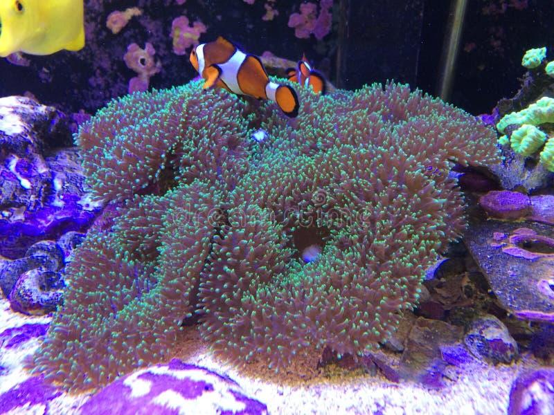 Εύρεση Nemo σε ένα πραγματικό παιχνίδι δεξαμενών ψαριών σε ένα κοράλλι μανιταριών στοκ εικόνες