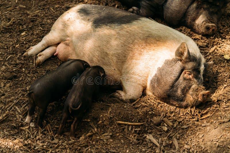 Εύφορος θηλυκός χοίρος που βρίσκεται στο άχυρο και το θηλασμό χοιριδίων αγρόκτημα, βιετναμέζικοι χοίροι ζωολογικών κήπων στοκ φωτογραφίες