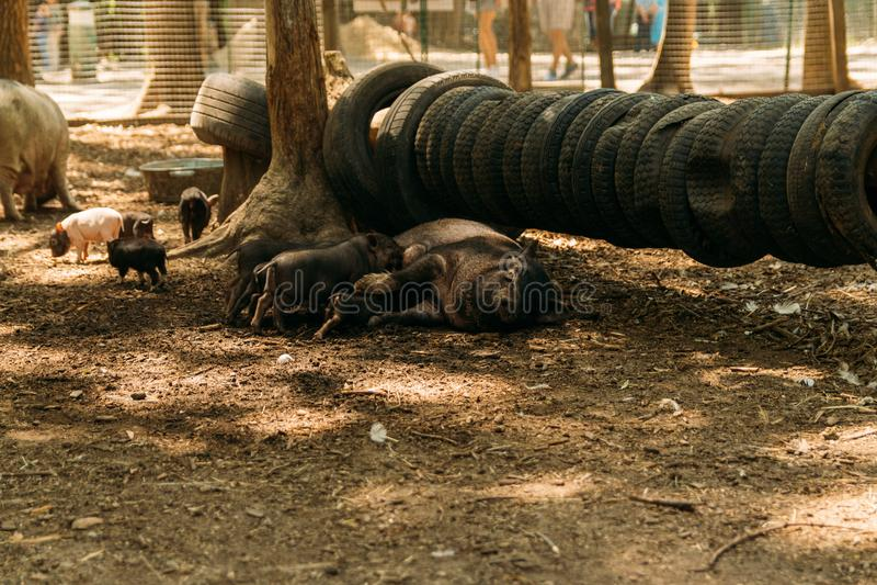 Εύφορος θηλυκός χοίρος που βρίσκεται στο άχυρο και το θηλασμό χοιριδίων αγρόκτημα, ρόδες, βιετναμέζικοι χοίροι ζωολογικών κήπων στοκ φωτογραφίες