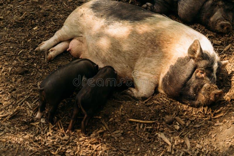 Εύφορος θηλυκός χοίρος που βρίσκεται στο άχυρο και το θηλασμό χοιριδίων αγρόκτημα, βιετναμέζικοι χοίροι ζωολογικών κήπων στοκ εικόνες