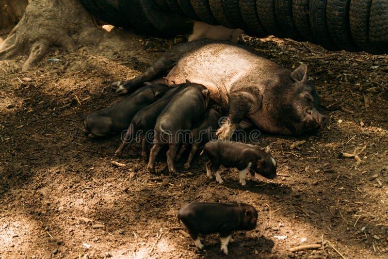 Εύφορος θηλυκός χοίρος που βρίσκεται στο άχυρο και το θηλασμό χοιριδίων αγρόκτημα, ρόδες, βιετναμέζικοι χοίροι ζωολογικών κήπων στοκ εικόνες