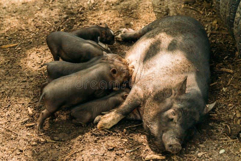 Εύφορος θηλυκός χοίρος που βρίσκεται στο άχυρο και το θηλασμό χοιριδίων αγρόκτημα, βιετναμέζικοι χοίροι ζωολογικών κήπων στοκ φωτογραφίες με δικαίωμα ελεύθερης χρήσης
