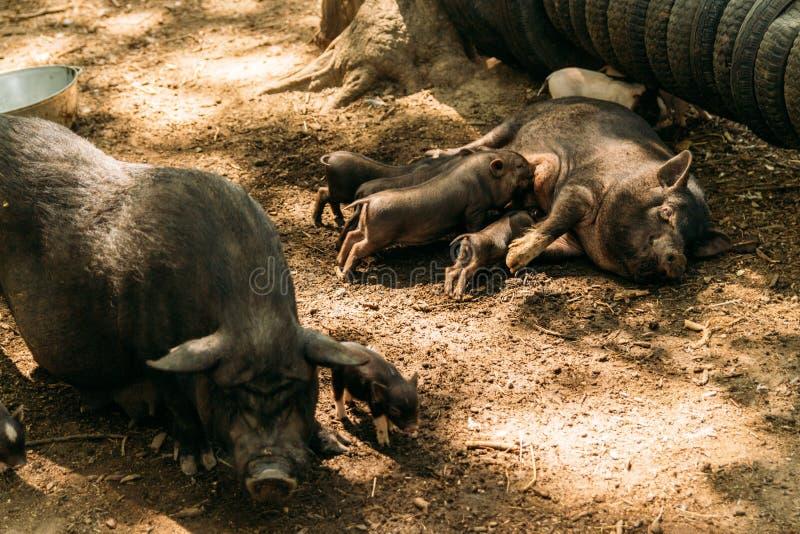 Εύφορος θηλυκός χοίρος που βρίσκεται στο άχυρο και το θηλασμό χοιριδίων αγρόκτημα, ρόδες, βιετναμέζικοι χοίροι ζωολογικών κήπων στοκ φωτογραφία με δικαίωμα ελεύθερης χρήσης