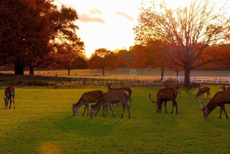 Ελάφια αγραναπαύσεων στο πάρκο του Ρίτσμοντ στοκ φωτογραφία με δικαίωμα ελεύθερης χρήσης